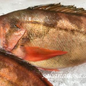 柳ばちめ 北陸でメバルといえばこの魚! 上品でしっかりした身が特徴 春の魚
