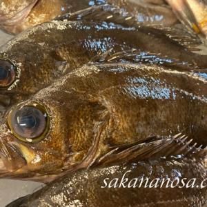 茶ばちめ(メバル) みるからに塩焼きが美味しそうな魚 秋冬の魚介類