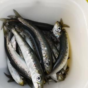 【昼釣り】青森湾でイワシを引掛け釣り!29匹