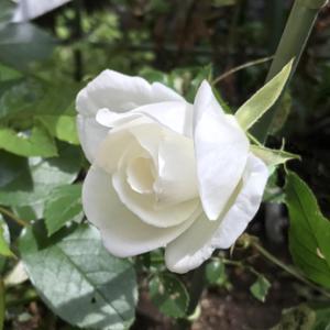 白い薔薇 アイスバーグ