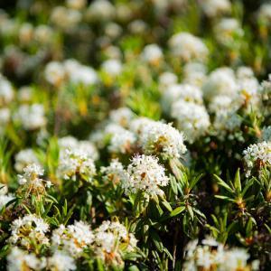 蝦夷イソツツジの可憐で美しい花!