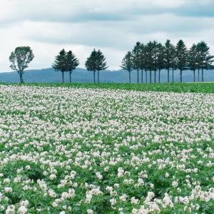 オホーツクの大地に咲くイモの花!