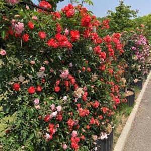 坂出番の州公園 バラを見て来た