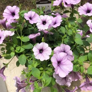 6月半ば 鉢花の様子