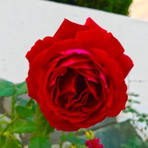 薔薇と色づいた多肉