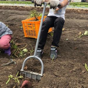 芋掘り♪きゃー、可愛い♪ とかではないガチな芋掘りを小中学生と^_^