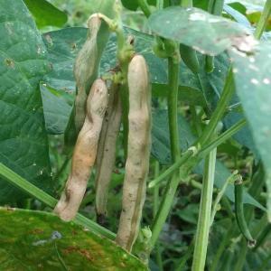 田舎暮らしって美味しい 豆は地球を救う