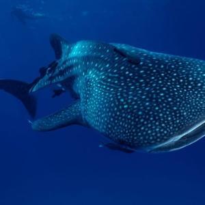 【世界最大の魚】ジンベイザメの知られざる生態!メスが大きい理由とは?