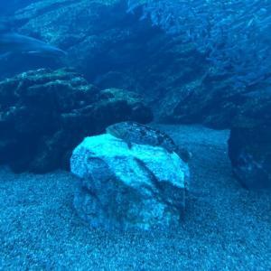 【水族館】ロックフィッシュを観察する
