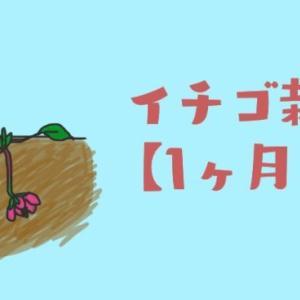 【イチゴの栽培】1か月目