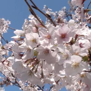 ブログで『花見』