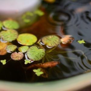メダカ飼育にもお勧めな水草の一つがアマゾンフロッグピット!その理由も解説!