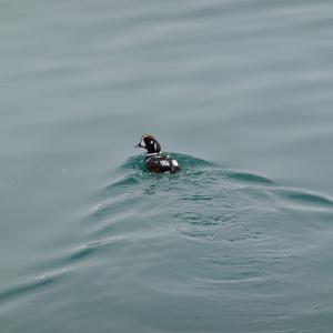 稚内港で激レアなカモを探す