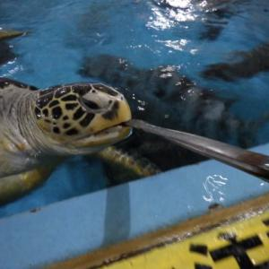 【クジラのおち○ちん】桂浜水族館を見学。ウミガメと綱引きするハプニングも