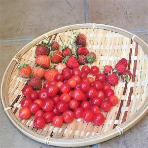 【家庭菜園】イチゴとラズベリーと山桜桃の収穫っ!協生農法風家庭菜園2021年6月中旬の様子