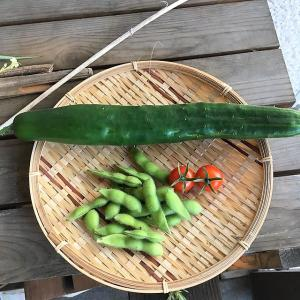 【家庭菜園】天空のキュウリを収穫!?
