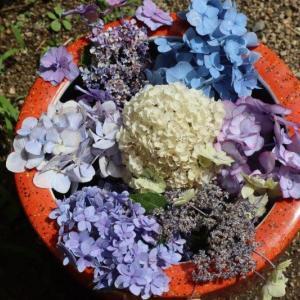 我家のあじさい(紫陽花)たちを動画でお届けします!