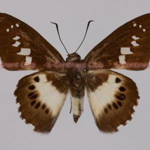 ラオスクスノキセセリ♂ (ラオス)