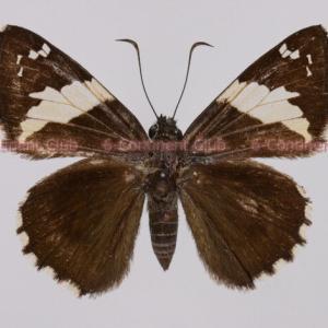 インドマエキセセリ♂ (ラオス) Lobocla liliana liliana