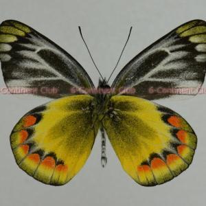 サンバワナカザリシロチョウ♂ (バリ) Delias sambawana boezaniana