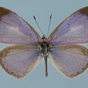 ルリシジミ♂ (タイ) Celastrina argiolus iynteana