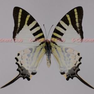 オナガタイマイ♂ (ラオス) Graphium antiphates pompilius