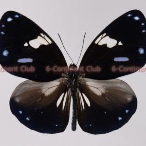 シロモンルリマダラ♂ (ボルネオ) Euploea radamanthus lowii