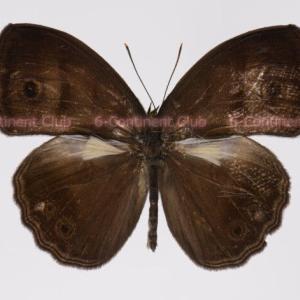 フスカコジャノメ♂ (ボルネオ) Mycalesis fusca adustata