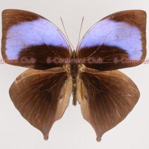 アミタオンワモンチョウ♂ (マレー半島) Amathuxidia amythaon dilucida