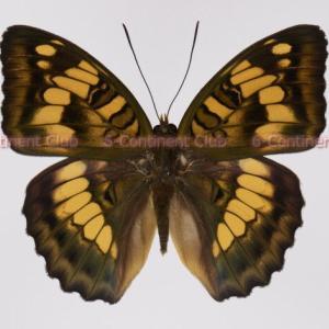 ホリシャイチモンジ♂ (台湾) Euthalia kosempona kosempona