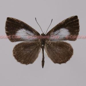 ディスタントキネアシシジミ♂ (ボルネオ) Logania distanti staudingeri