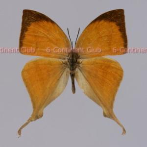 オナガアカシジミ♂ (タイ) Loxura atymnus continentalis