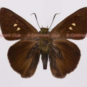 タイワンビロードセセリ♀ (台湾) Hasora taminatus vairacana