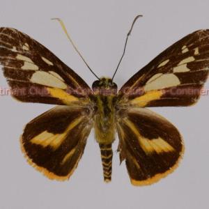 ハリマオセセリ♂ (マレー半島) Pyroneura callineura donatana