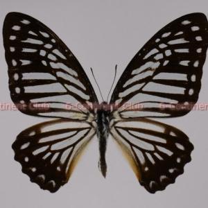 ミズアオマダラタイマイ♂ (ラオス) Graphium xenocles kephisos