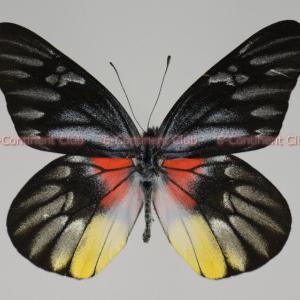 アカリスカザリシロチョウ♂ (タイ) Delias acalis pyramus