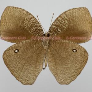 マルバネコノマチョウ♂ (スラウェシ) Bletogona mycalesis mycalesis