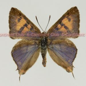 オオキマダラルリツバメ♂ (タイ) Spindasis maximus maximus