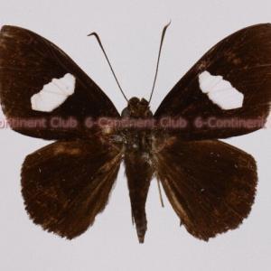 ギンキコモンセセリ♂ (マレー半島) Celaenorrhinus ficulnea queda