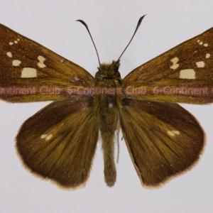 キモンチャバネセセリ♂ (台湾) Polytremis lubricans kuyaniana