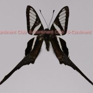 シロスソビキアゲハ♂ (ボルネオ) Lamproptera curius curius