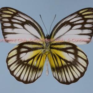 セレベスキシタシロチョウ♂ (スラウェシ) Cepora celebensis celebensis