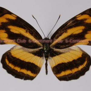 キンミスジ♂ (ラオス) Pantoporia hordonia hordonia