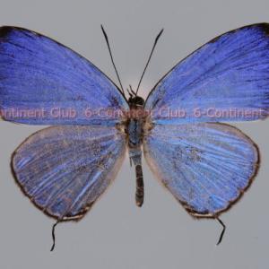 キララルリウラナミシジミ♂ (マレー半島) Jamides caeruleus caeruleus