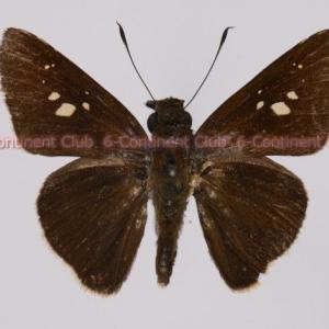 コルマサクロチャバネセセリ♂ (ボルネオ) Caltoris cormasa cormasa