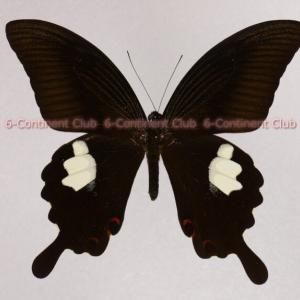 モンキアゲハ♂ (タイ) Papilio helenus helenus