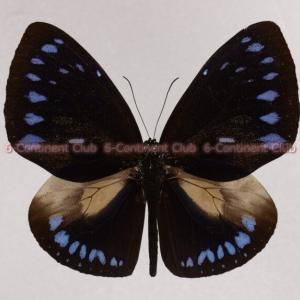 マルバネルリマダラ♂ (スラウェシ) Euploea eunice westwoodi
