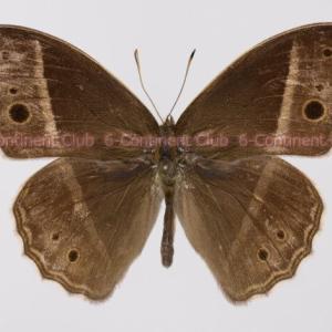 マルサラコジャノメ♂ (ラオス) Mycalesis malsara malsara