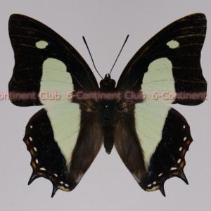 アタマスフタオチョウ♂ (ボルネオ) Polyura athamas uraeus