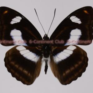 タイワンイチモンジ♂ (台湾) Athyma cama zoroastes